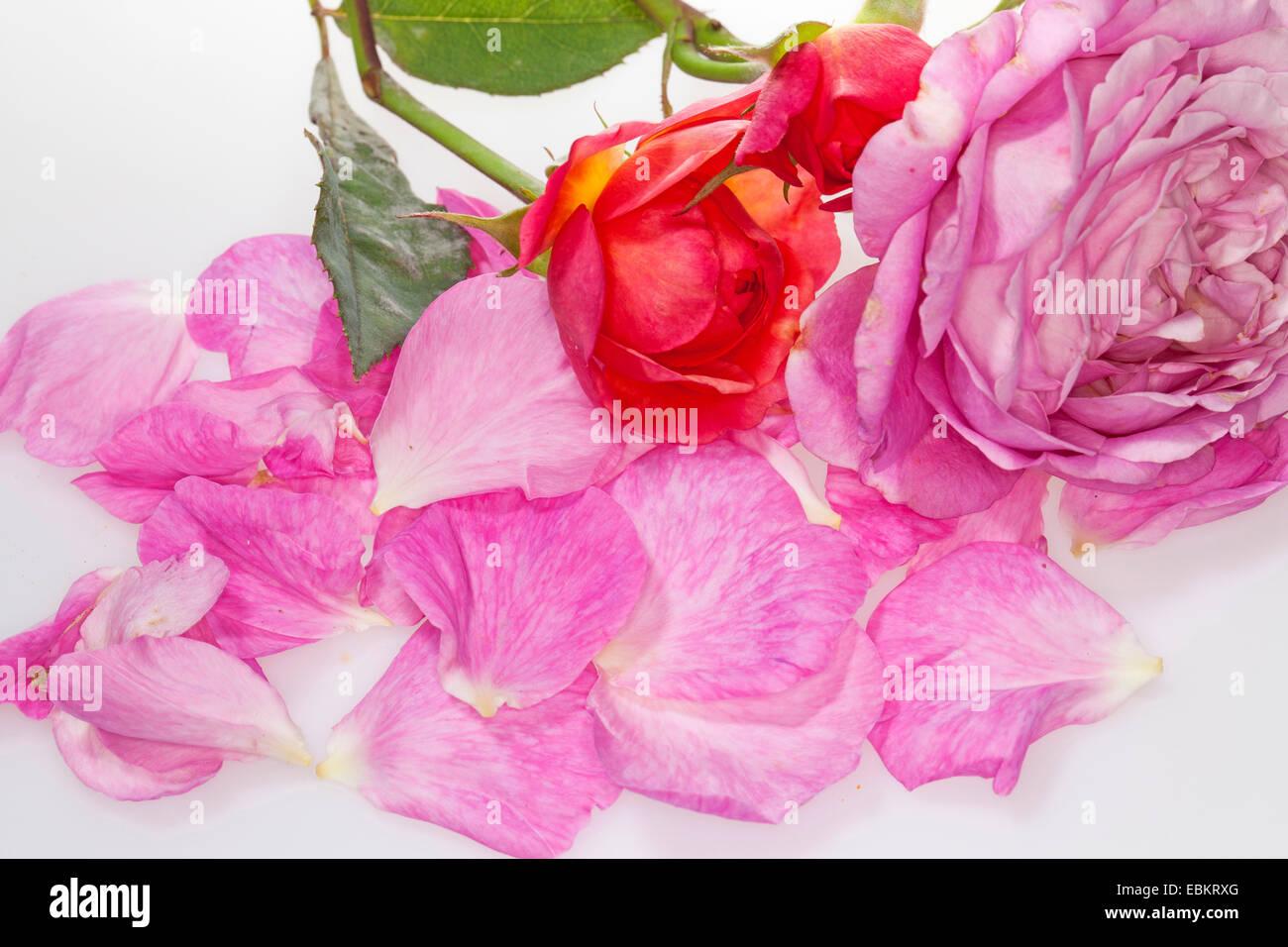 Rose ornamentali (Rosa spec.), petali di rose Immagini Stock