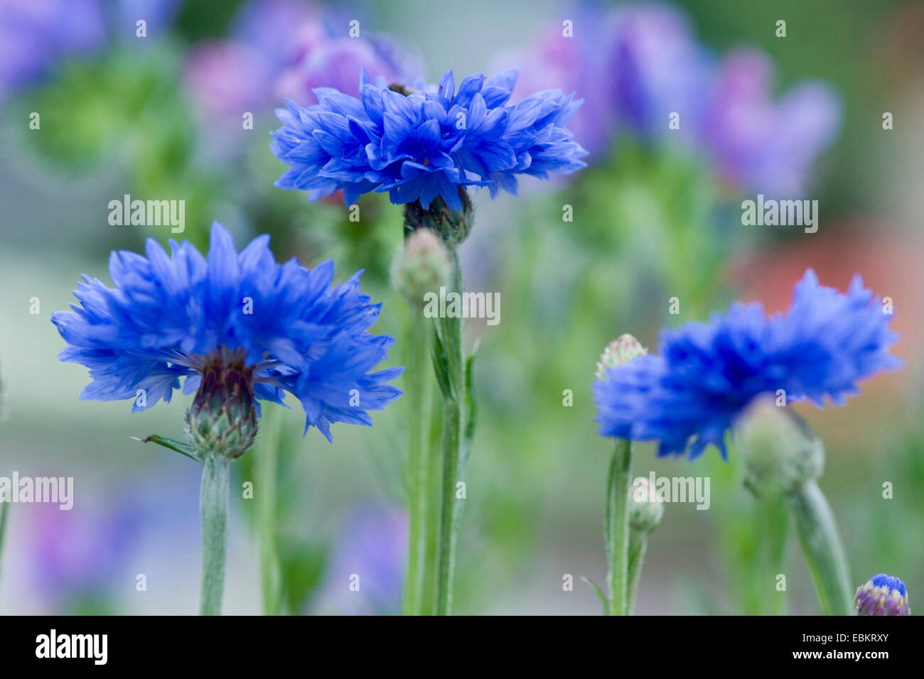Laurea di primo livello pulsante, bluebottle, Fiordaliso (Centaurea cyanus), fioritura, Germania Immagini Stock