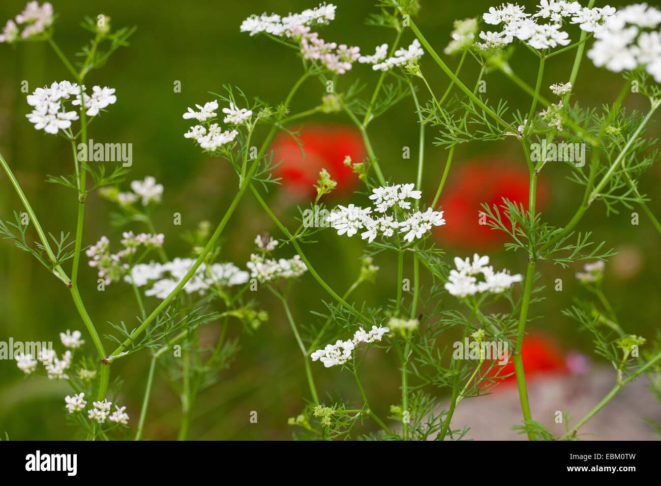 Il coriandolo (Coriandrum sativum), fioritura Immagini Stock