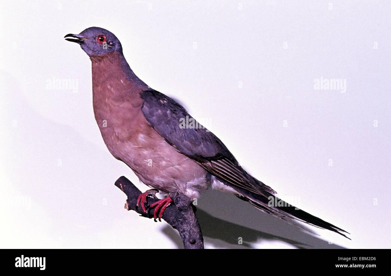 Piccione passeggero (Ectopistes migratoria), estinzione di specie di uccelli Immagini Stock