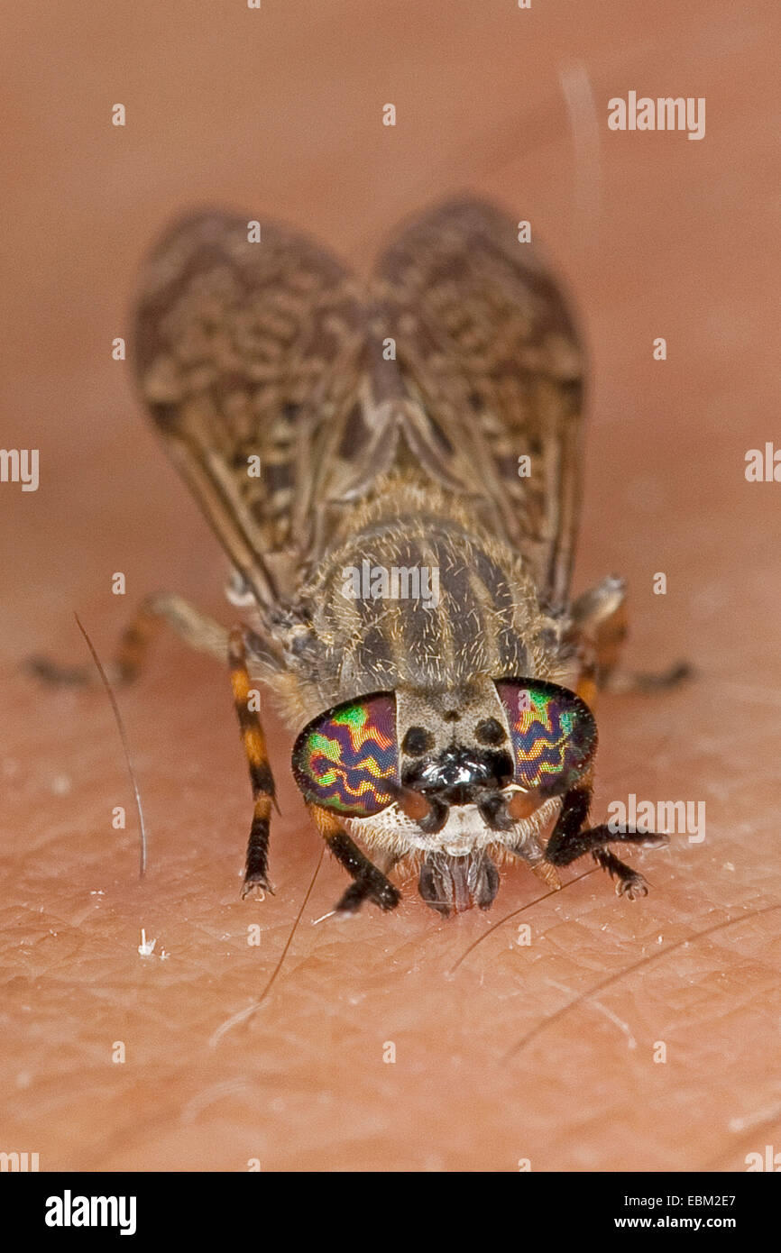 Cleg-fly, cleg (Haematopota pluvialis), sulla pelle umana, Germania Immagini Stock