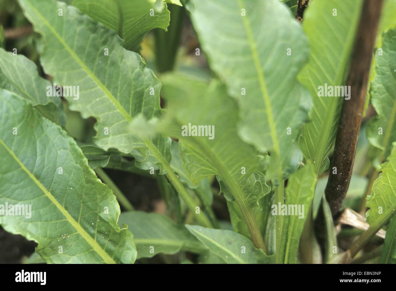 Pazienza dock (Rumex patientia), foglie Immagini Stock