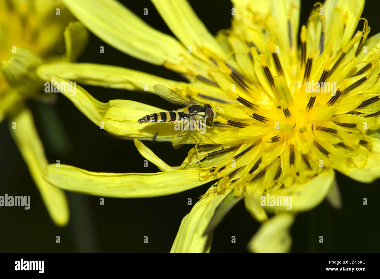Oriental Goet's Beart, Jack-Go-To-Bed-At-Noon (Tragopogon pratensis subsp. orientalis, Tragopogon orientalis), Immagini Stock