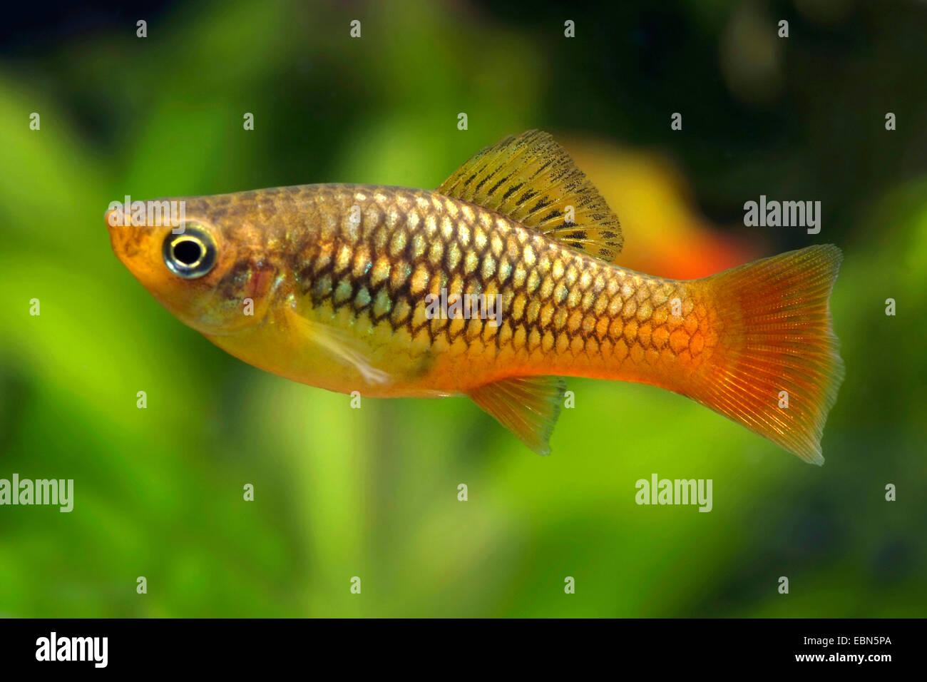 Variegata di platy, Variatus swordtail, Variable platyfish, Parrot Platy (Xiphophorus variatus), nuoto Immagini Stock
