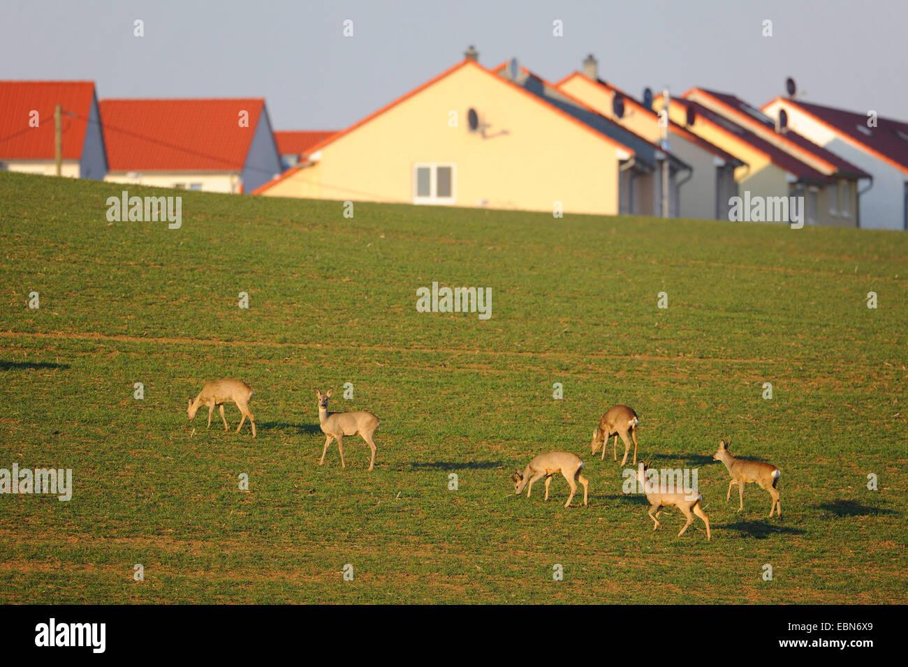 Il capriolo (Capreolus capreolus), diversi cervi pn un campo in vicinanza di una zona residenziale, Germania Immagini Stock