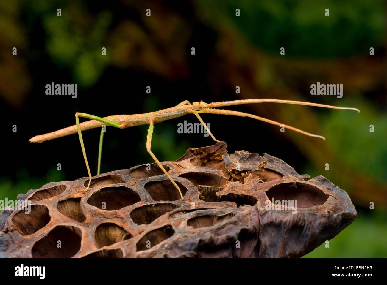 Stick vietnamita Bug (Ramulus Artemis, Baculum artemis), su una nave di sementi Immagini Stock