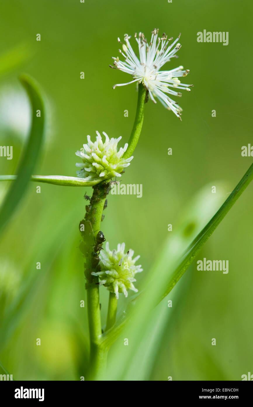 Piccolo bur-reed (Sparganium minimo, Sparganium natans), infiorescenza con fiori maschili, Germania Immagini Stock
