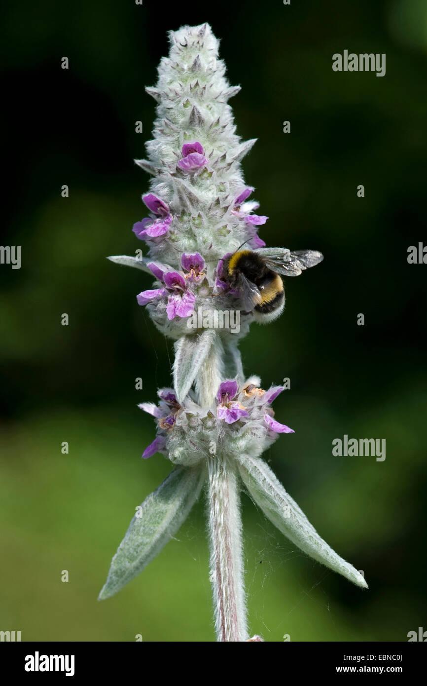 Di lana di agnello orecchio (Stachys byzantina), infiorescenza con umile bee Immagini Stock