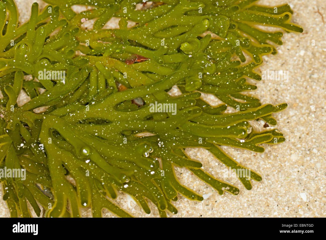 Fragile spugna verde dito (Codium spec.), a bassa marea, Germania Immagini Stock
