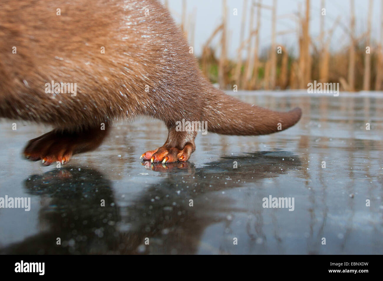 Unione Lontra di fiume, Lontra europea, lontra (Lutra lutra), le zampe posteriori su un congelati della lastra di Immagini Stock