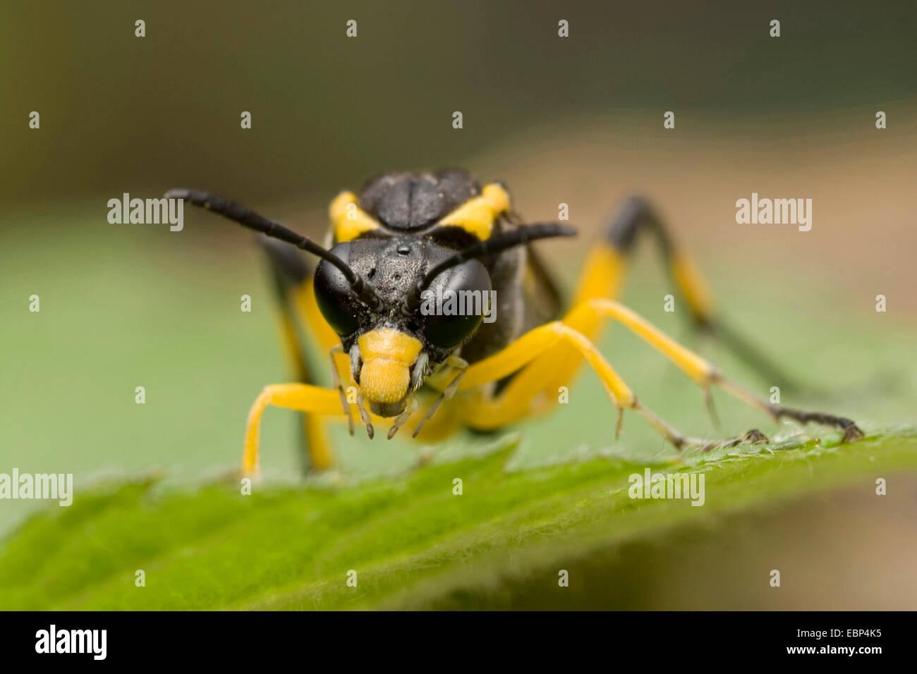 Sawfly (Macrophya montana), su una foglia, vista frontale, Germania Immagini Stock