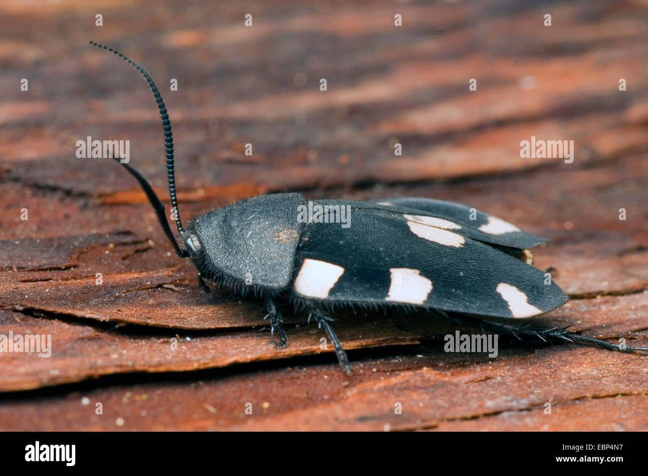 Indian domino scarafaggio (Therea petiveriana), sulla corteccia Immagini Stock