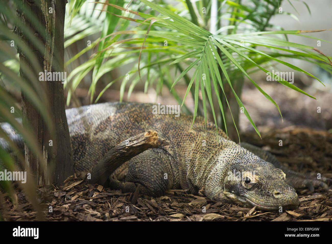 Femmina di drago di Komodo (Varanus komodoensis) in Eurasian presentano Immagini Stock