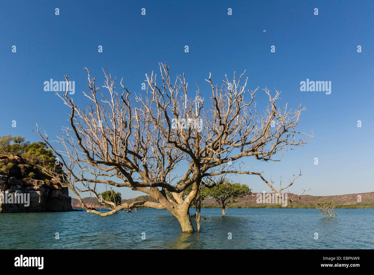 Estrema alta marea copre gli alberi nella Hunter River, Kimberley, Australia occidentale, Australia Pacific Immagini Stock