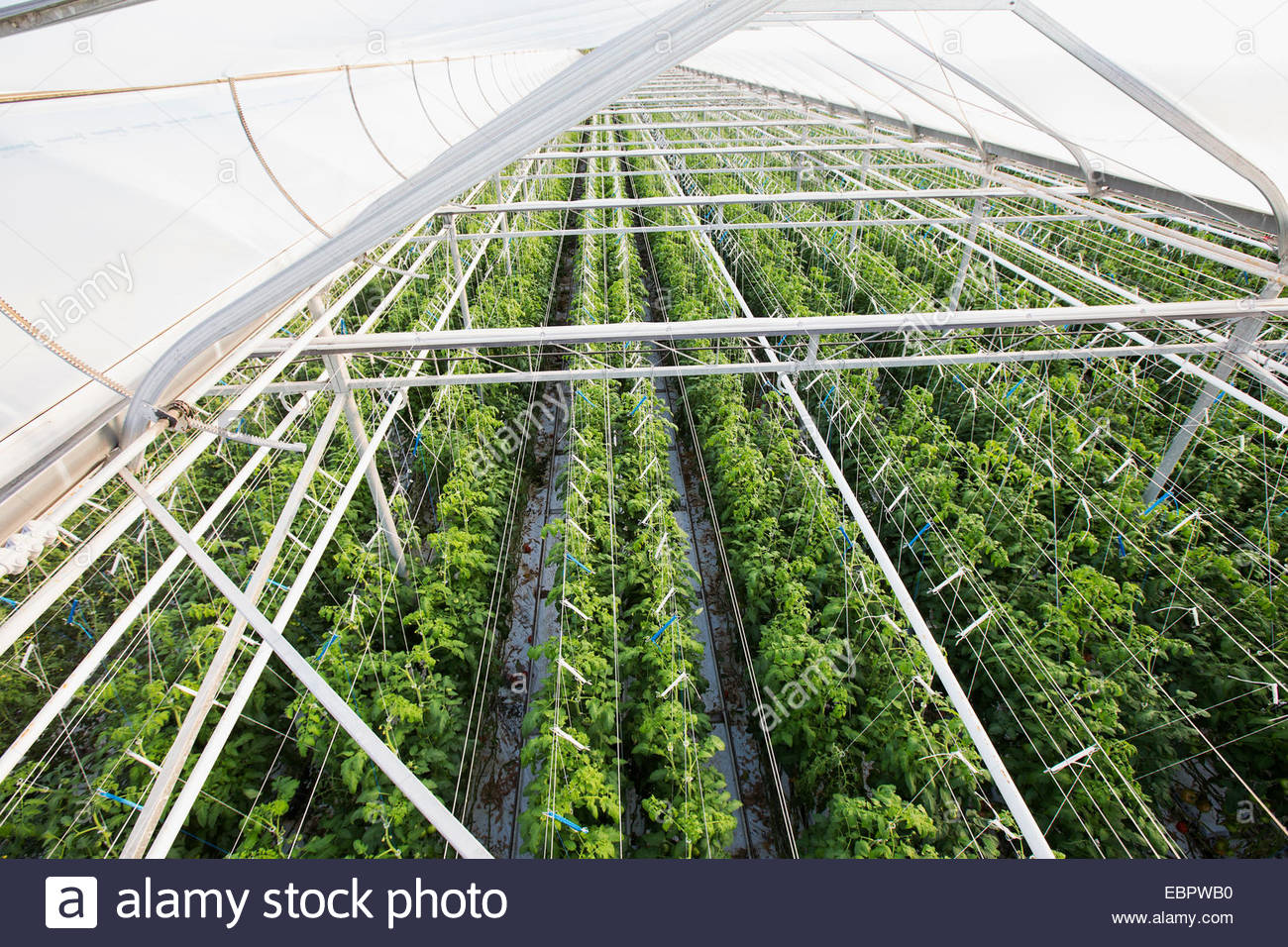 Piante che crescono in una fila in serra Foto Stock