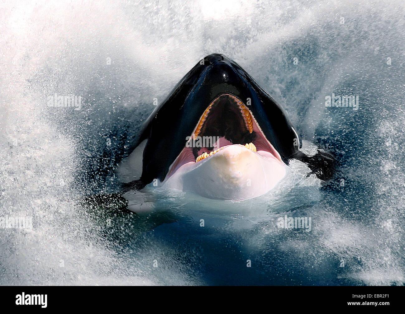 Orca, grande balena killer, grampus (Orcinus orca), hesd con bocca aperta guardando fuori del mare Immagini Stock