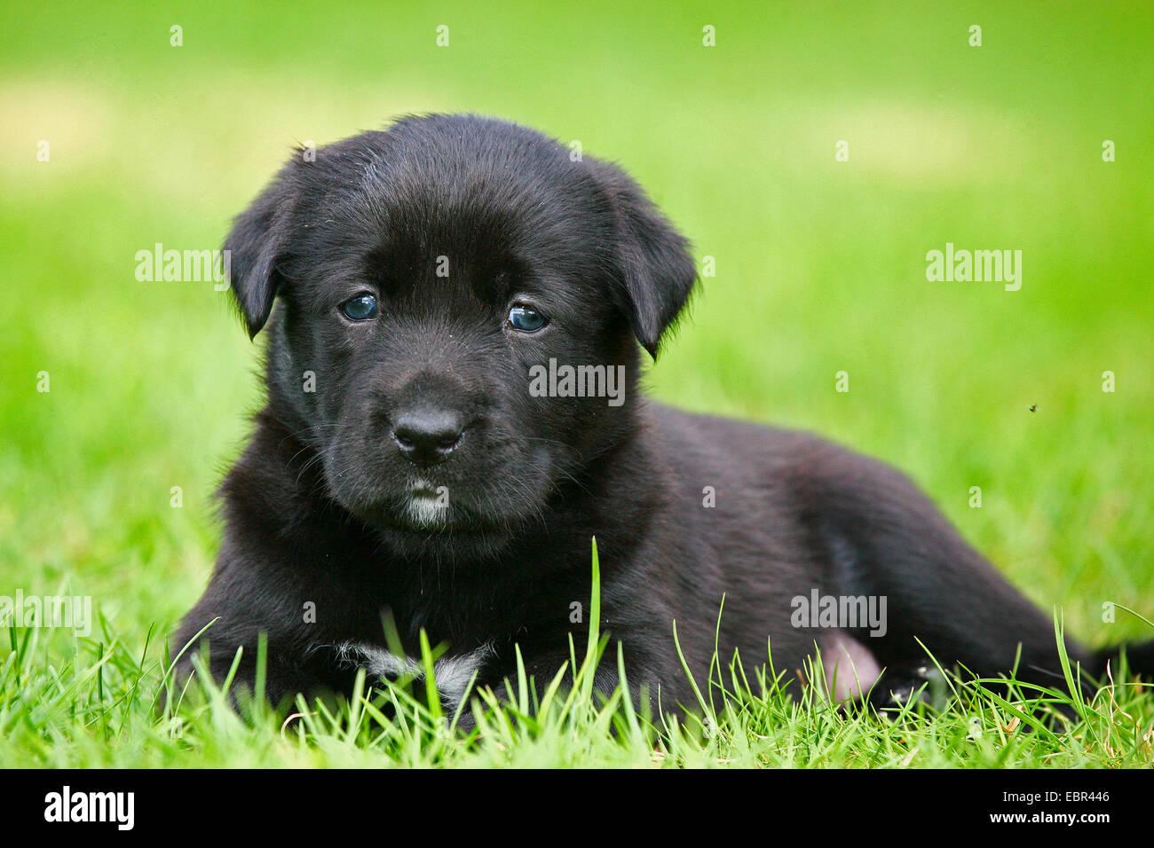 Il Labrador Retriever (Canis lupus f. familiaris), Labrador-cucciolo giacente in un prato, Germania Immagini Stock