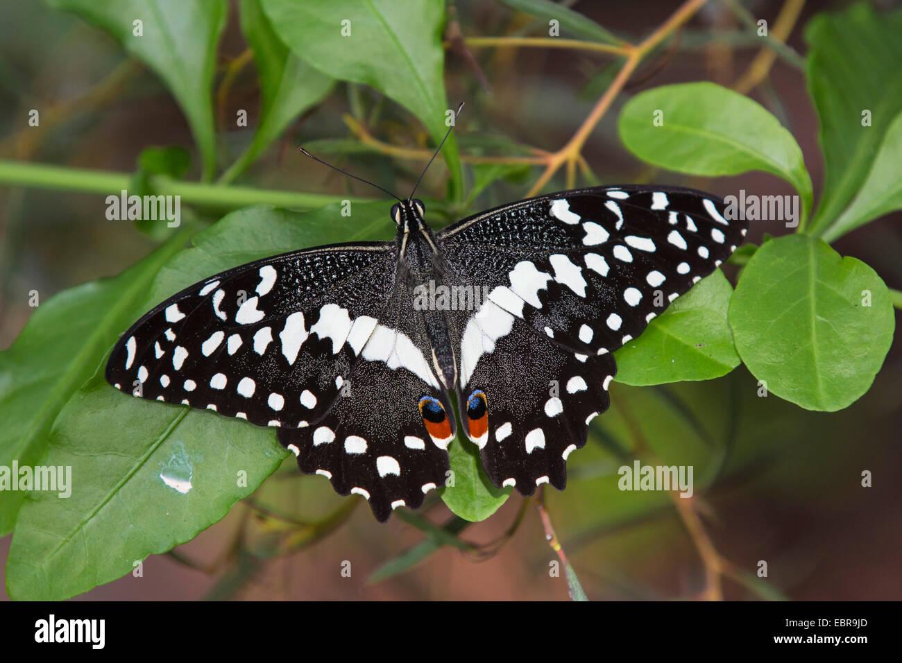 A coda di rondine a scacchi (Papilio demoleus), seduta su una foglia Immagini Stock