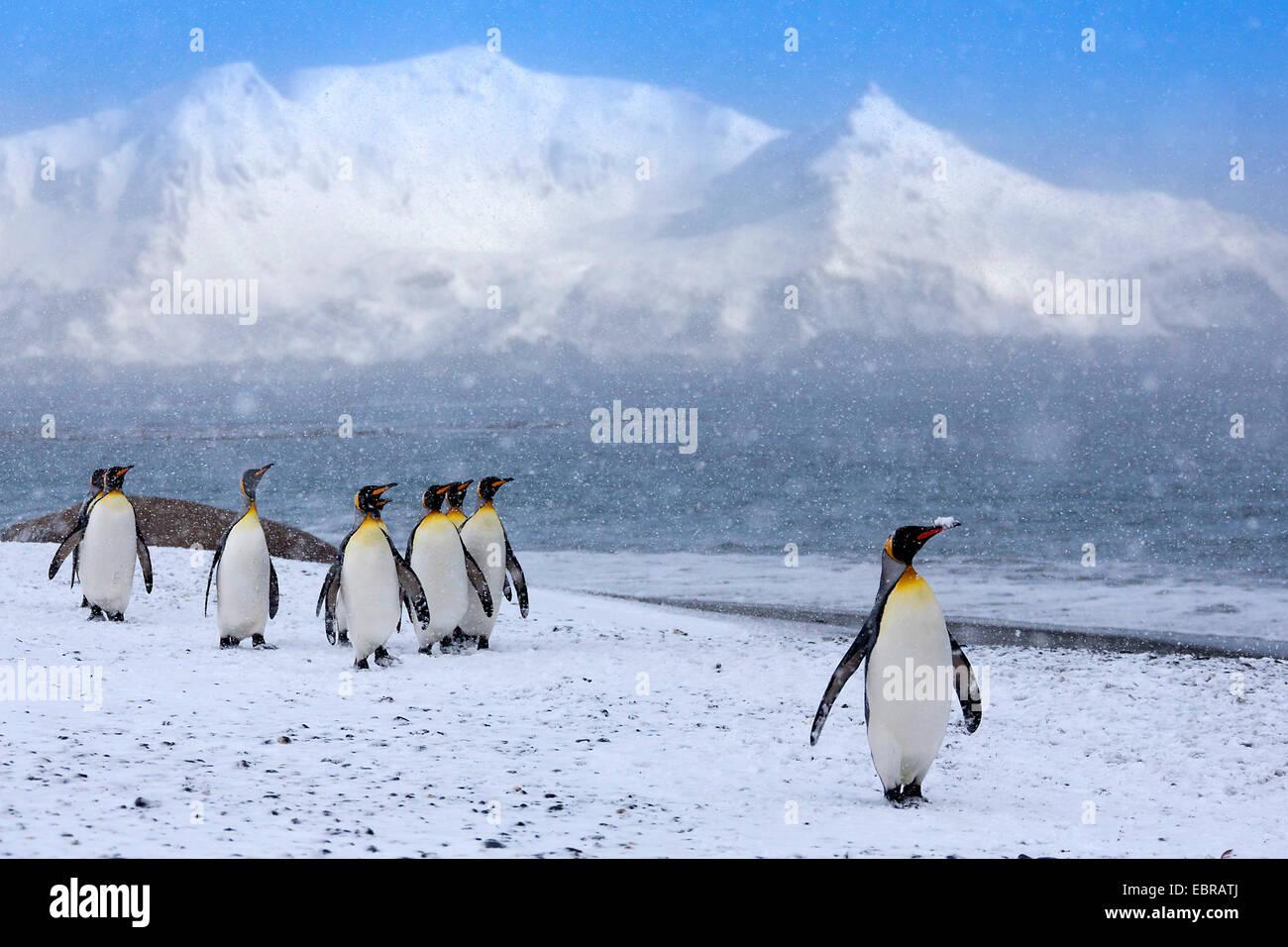Pinguino reale (Aptenodytes patagonicus), gruppo in forte nevicata, Antartide, Suedgeorgien, St Andrews Bay Immagini Stock