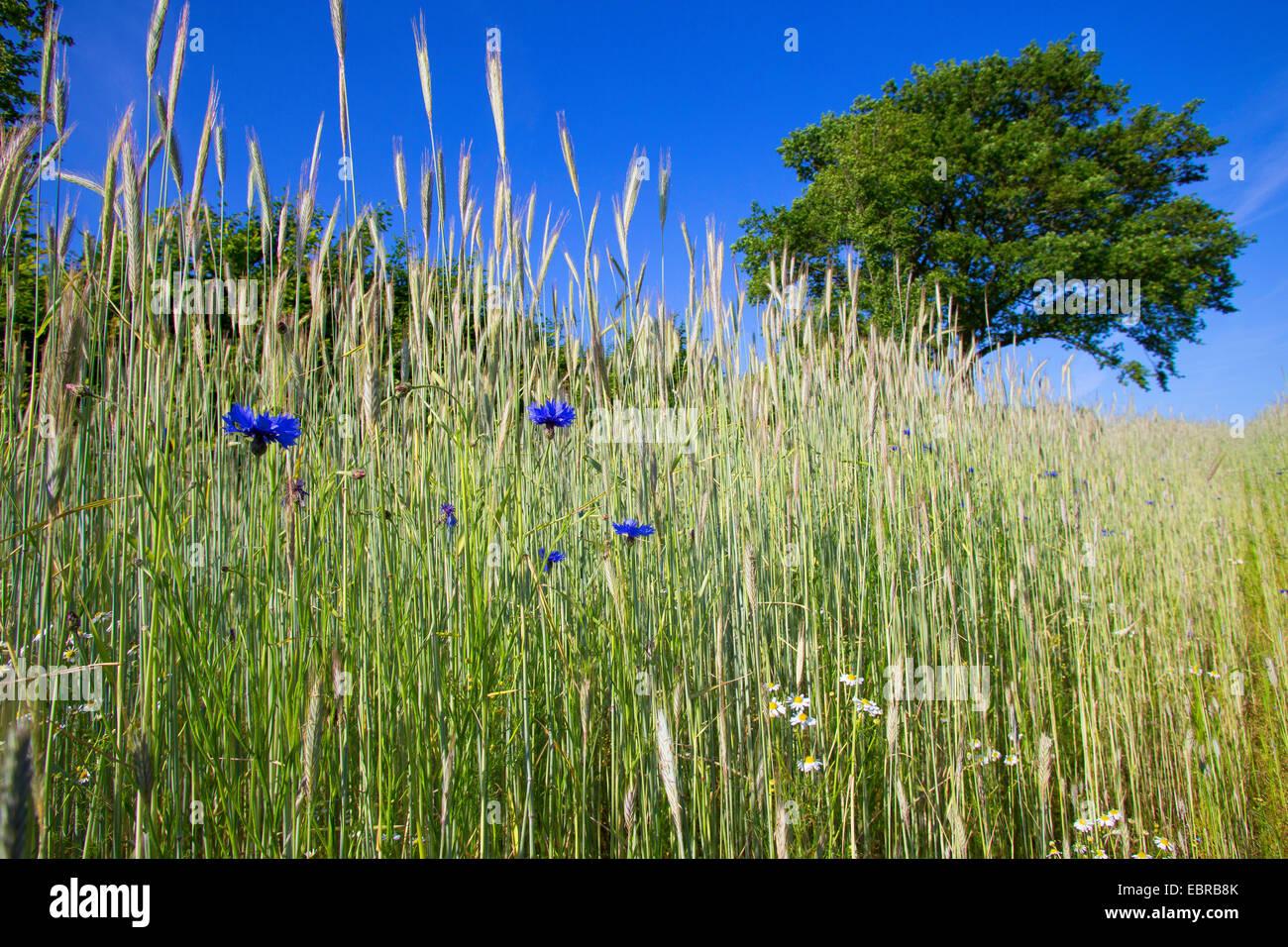 Laurea di primo livello pulsante, bluebottle, Fiordaliso (Centaurea cyanus), ryefield con cornflowers, Germania, Immagini Stock