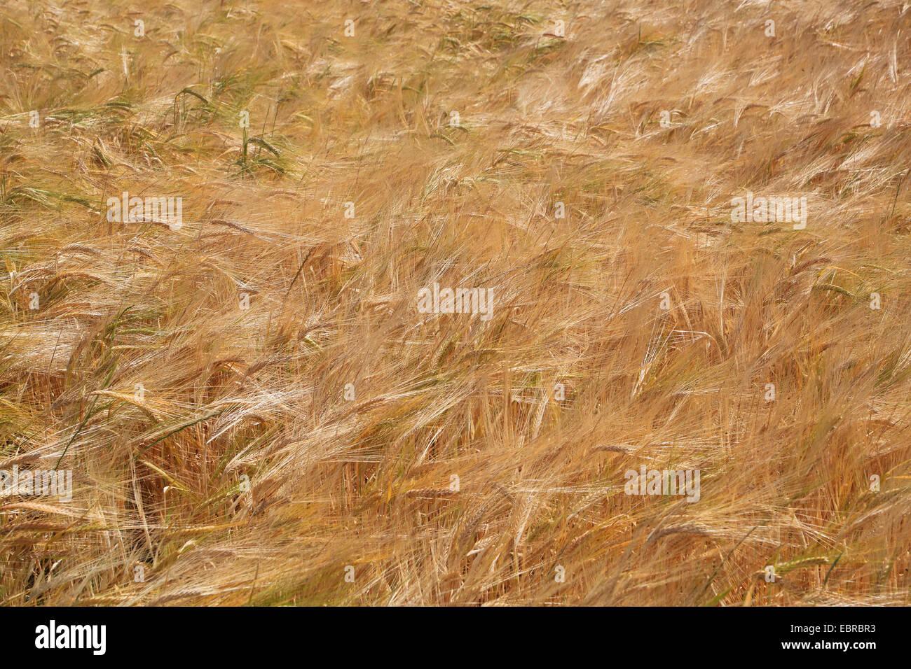 Orzo (Hordeum vulgare), matura, campo di orzo, Germania Immagini Stock