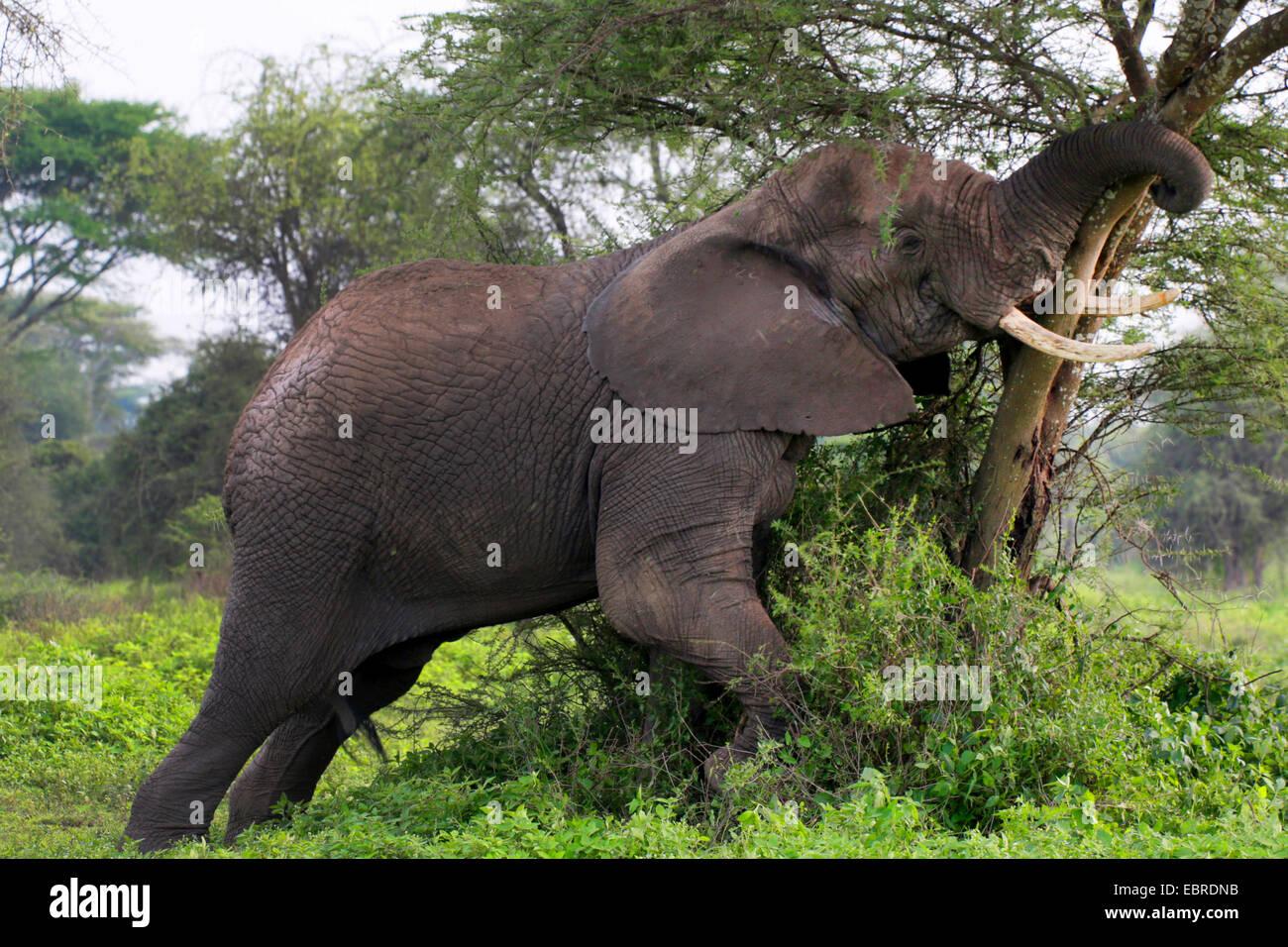 Elefante africano (Loxodonta africana), misurando le sue forze in corrispondenza di un albero, Tanzania Serengeti Immagini Stock