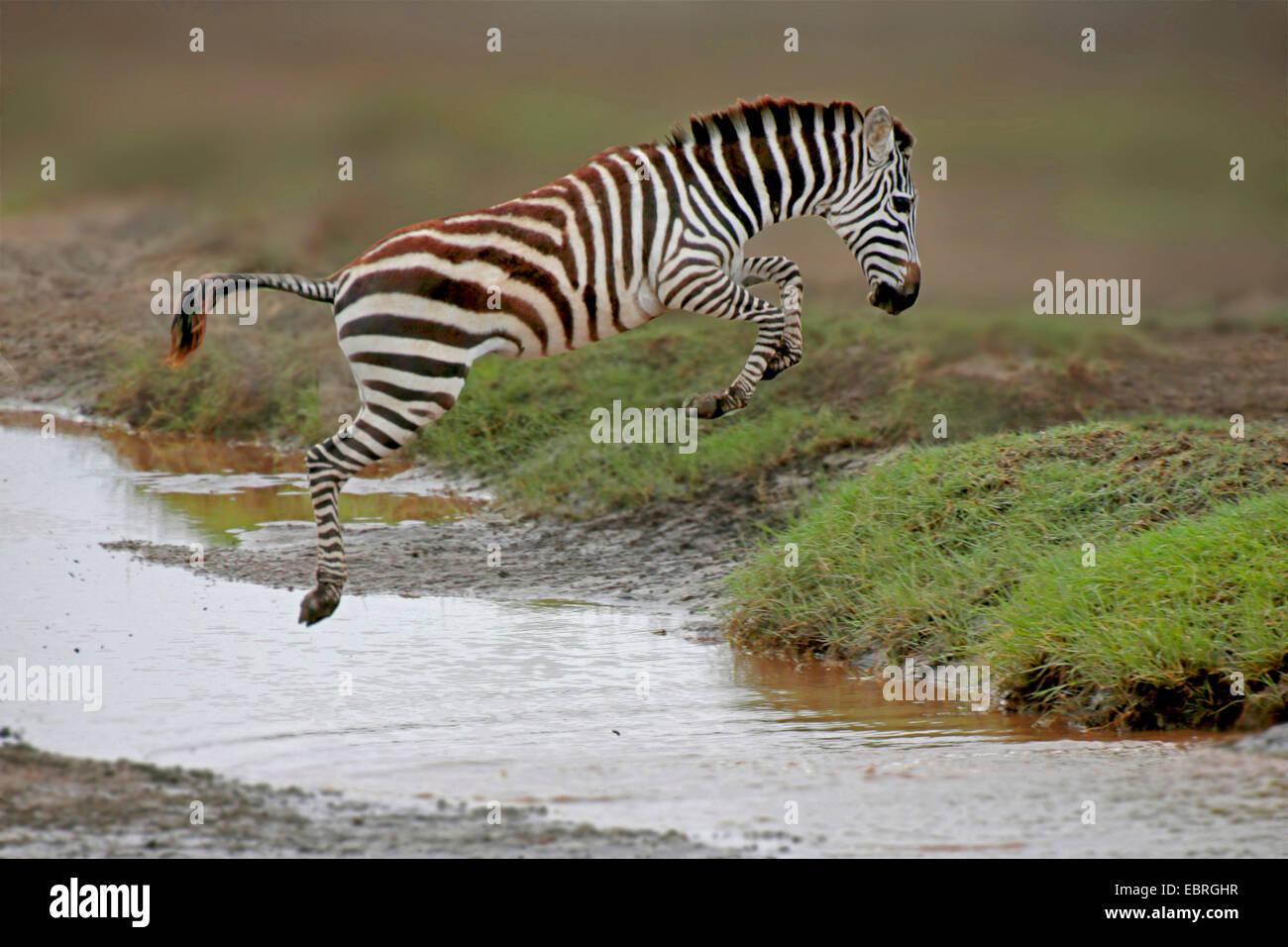 Zebra comune (Equus quagga), saltando su un torrente, Tanzania Serengeti National Park Immagini Stock
