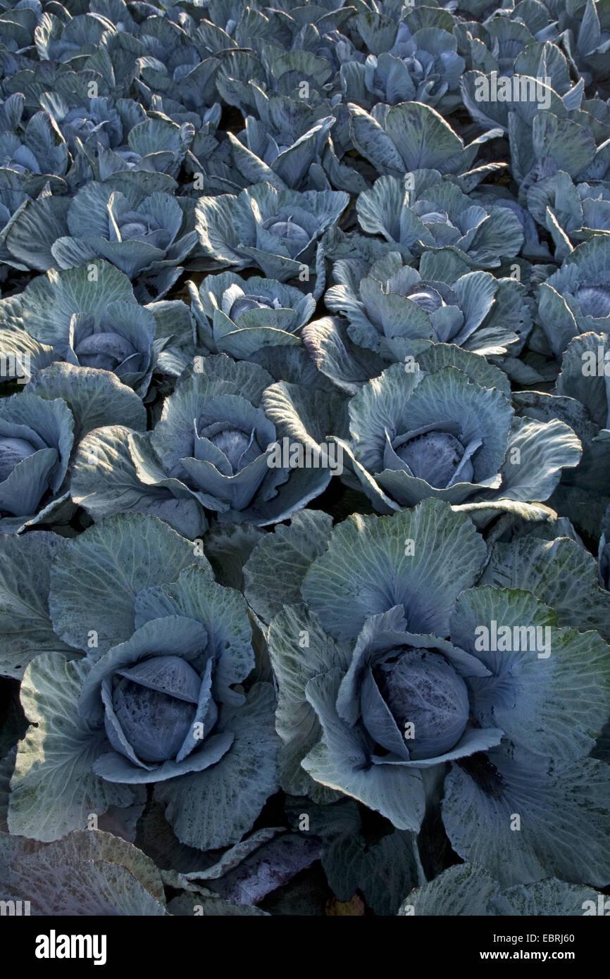 Cavolo rosso, viola, cavolo rosso kraut, blu kraut (Brassica oleracea var. capitata f. rubra), cavolo rosso su un Immagini Stock
