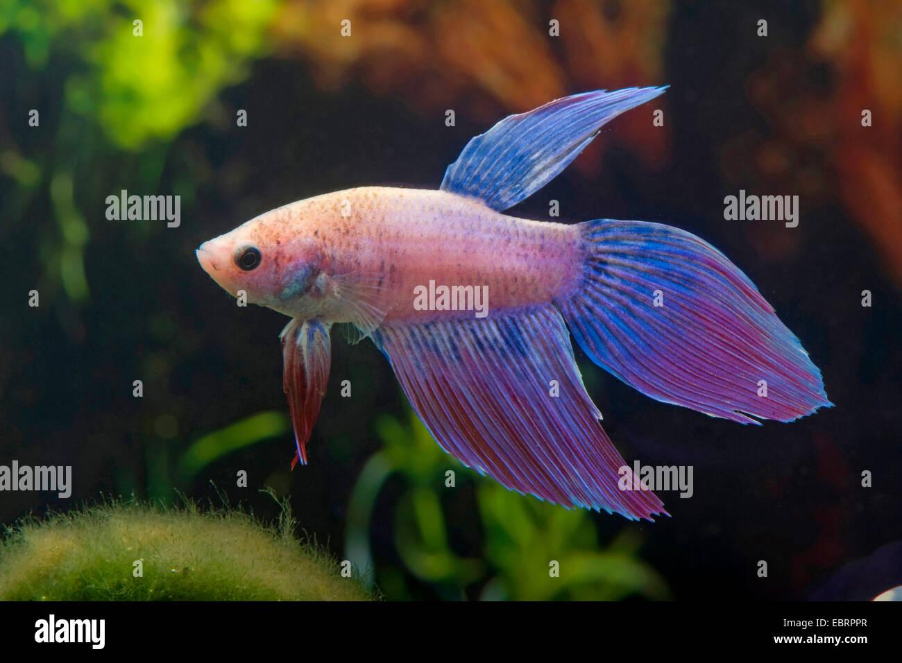 Siamese fighting fish, Siamese fighter (Betta splendens), razza Longtail Mirabelle Immagini Stock
