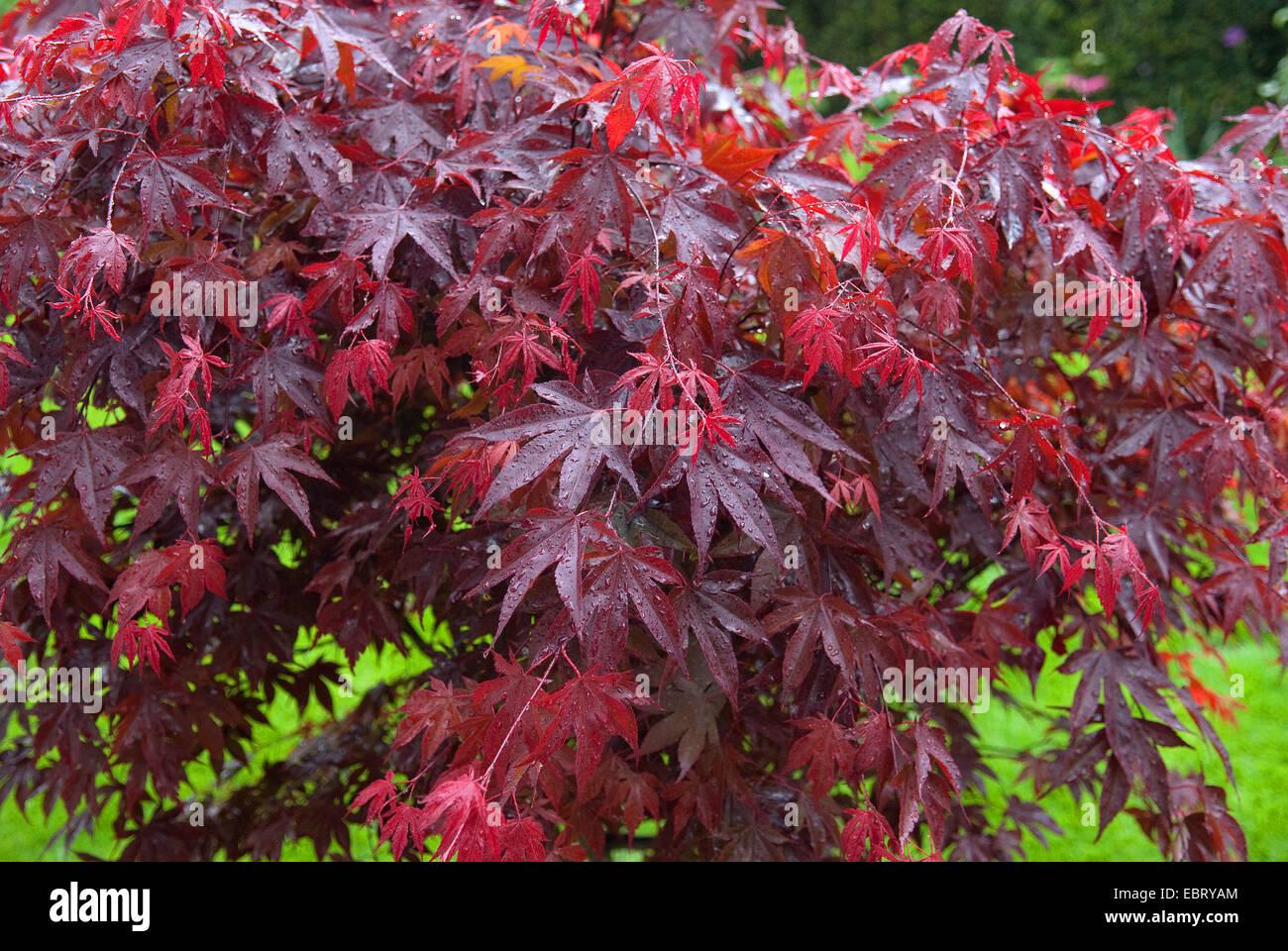 Acero giapponese acer palmatum 39 bloodgood 39 acer palmatum for Acero giapponese