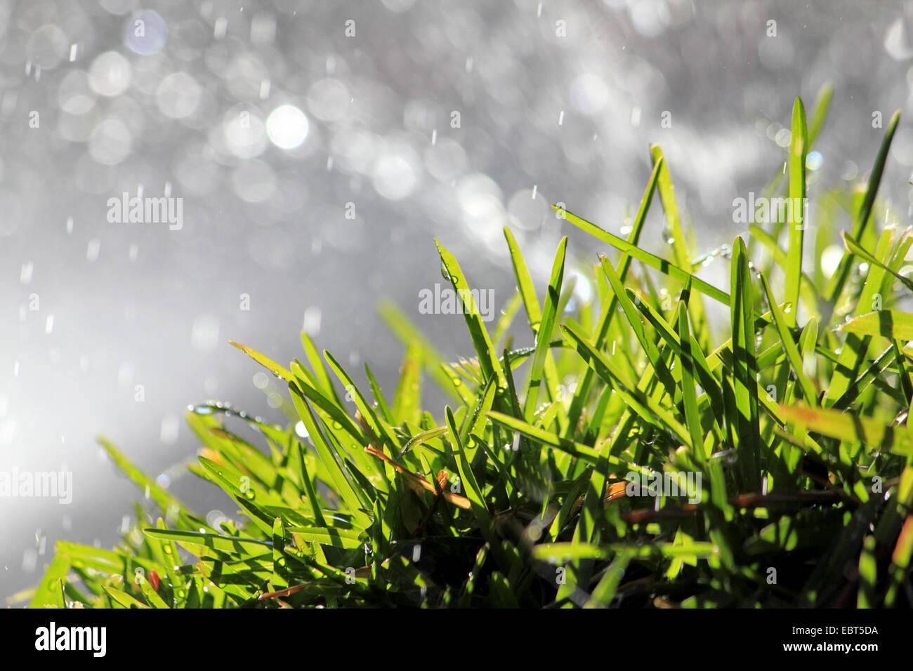 Erba verde sotto la pioggia e la retroilluminazione, Germania Foto Stock