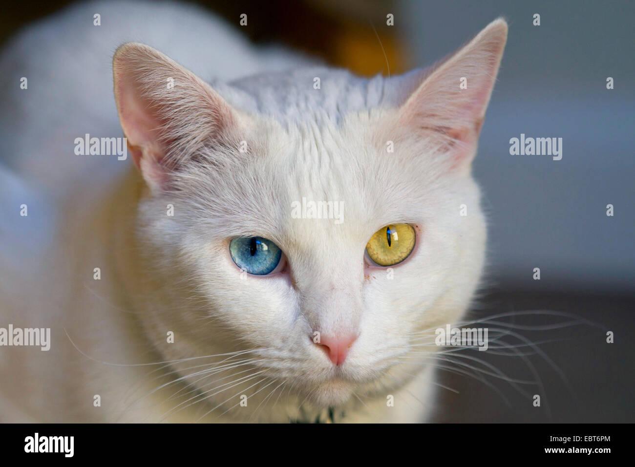 Il gatto domestico il gatto di casa bagno turco van felis