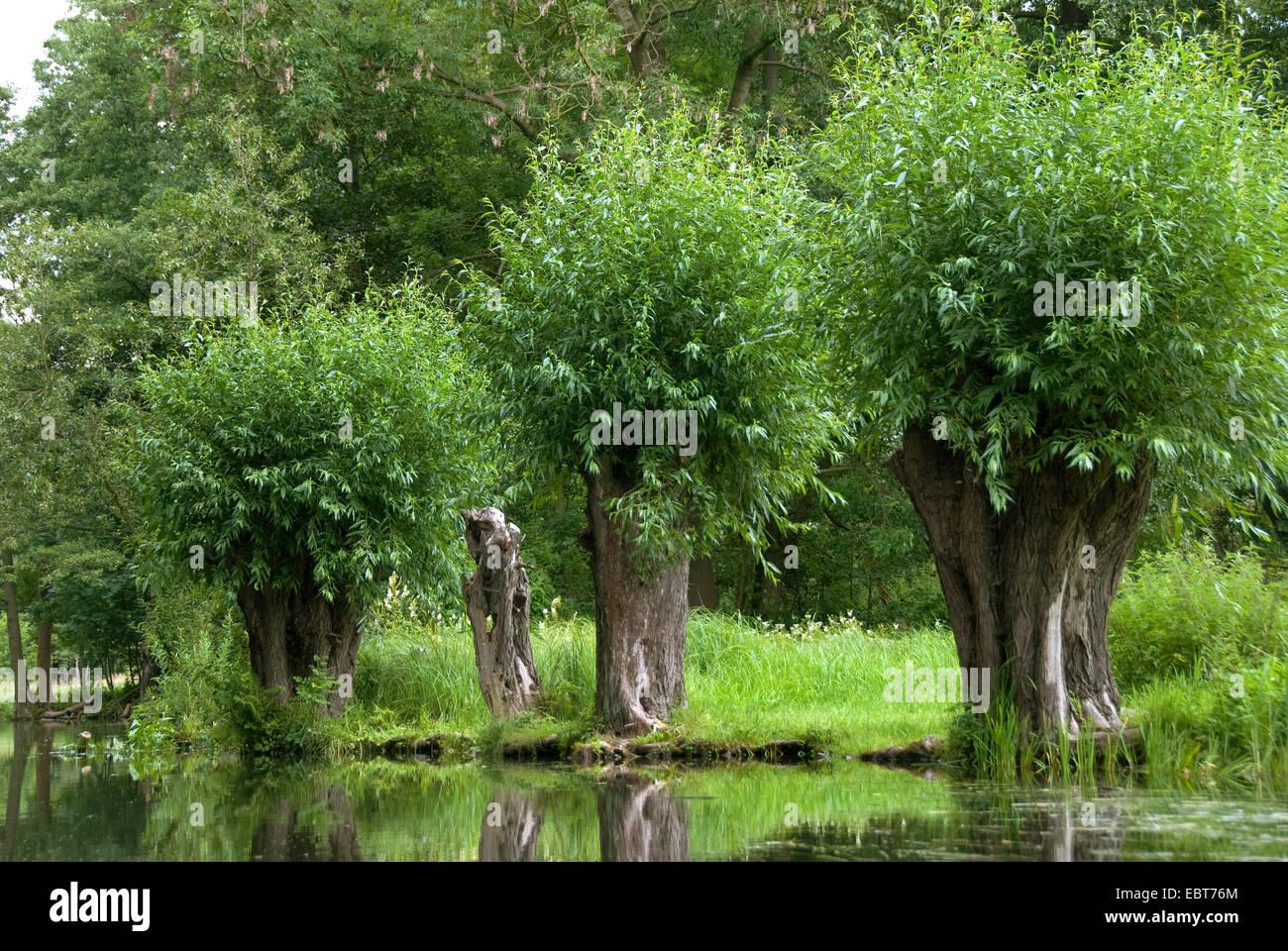 Il salice bianco (Salix alba), pollarded salici in Spreewald, Germania Berlino Immagini Stock