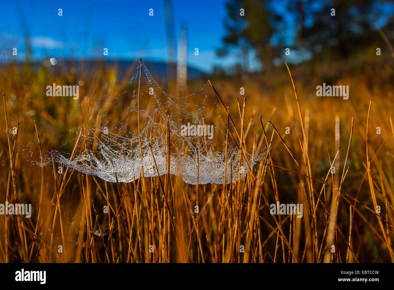Foglio-web weaver, foglio-web spinner, linea di tessitura spider, tessitori di linea, denaro spider (Linyphiidae), Immagini Stock