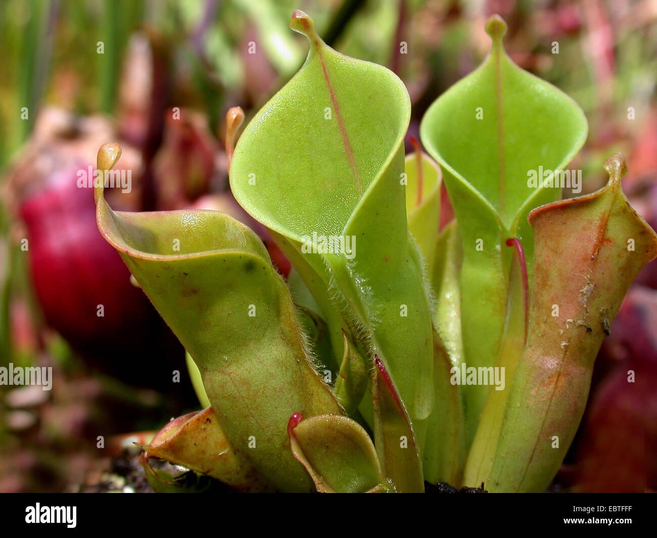Sun bricco (Heliamphora minor), pianta carnivora, lanciatore trappole Immagini Stock