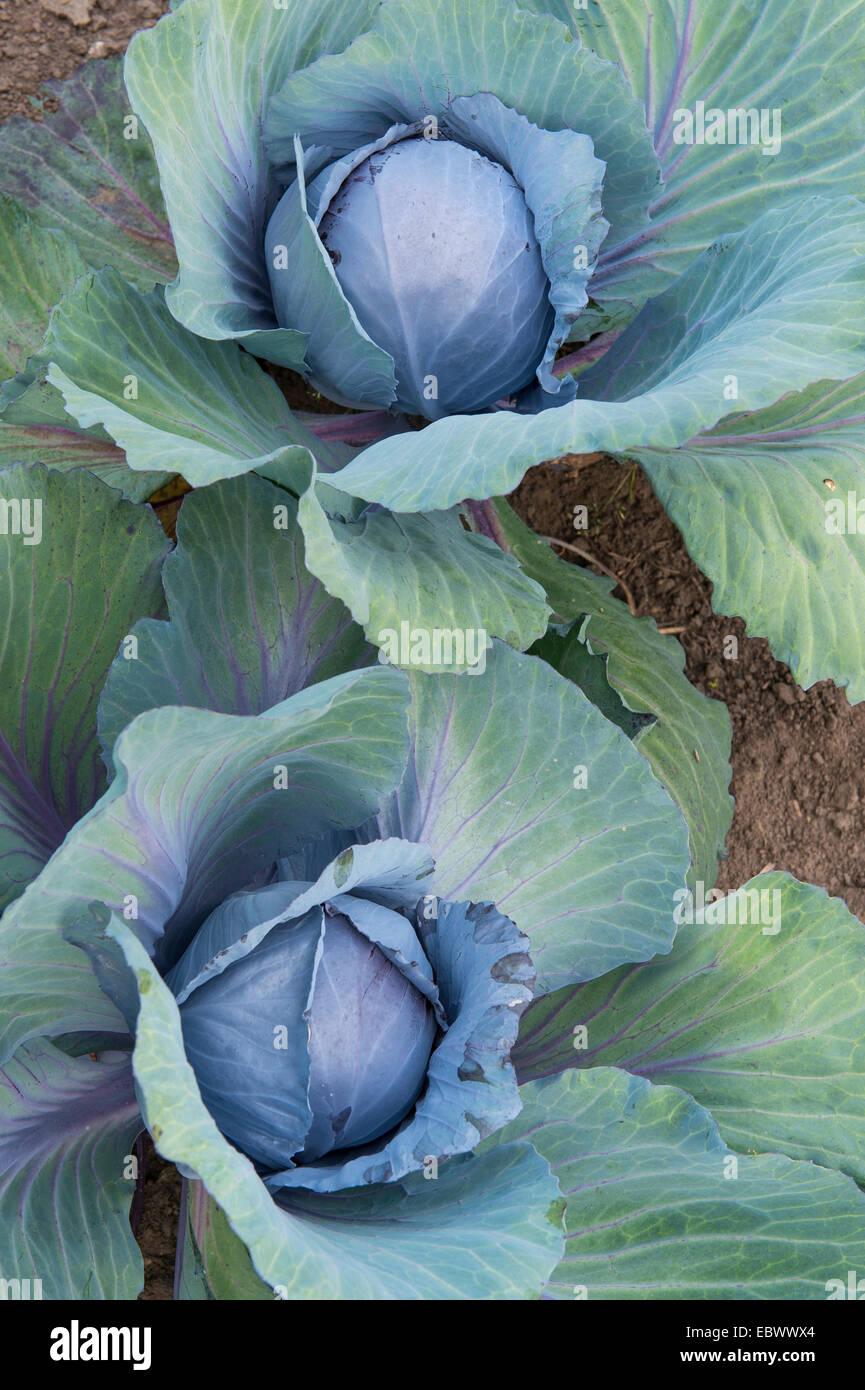 Cavolo rosso, viola, cavolo rosso kraut, blu kraut (Brassica oleracea var. capitata f. rubra), cavolo rosso in un Immagini Stock