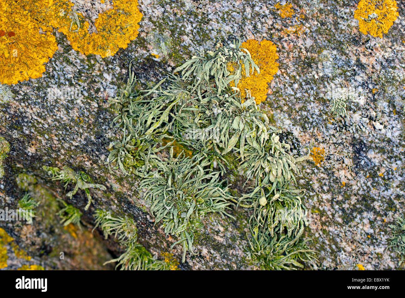 Mare avorio Ramalina (cfr siliquosa), mare avorio Lichen sulle rocce e pareti di pietra su coastland, Germania Immagini Stock