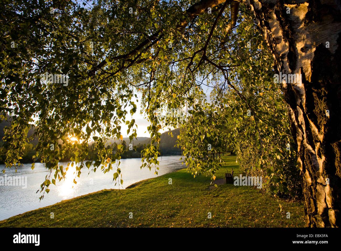 Comune di betulla, argento betulla, bianco europeo betulla, bianco (betulla Betula pendula, betula alba), prato Immagini Stock