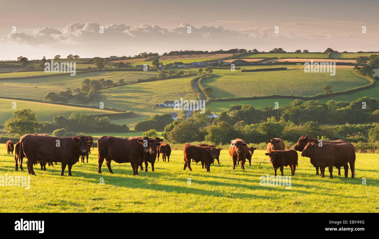 North Devon rosso rubino mandrie di bovini che pascolano nella campagna di laminazione, cane nero, Devon, Inghilterra. Immagini Stock