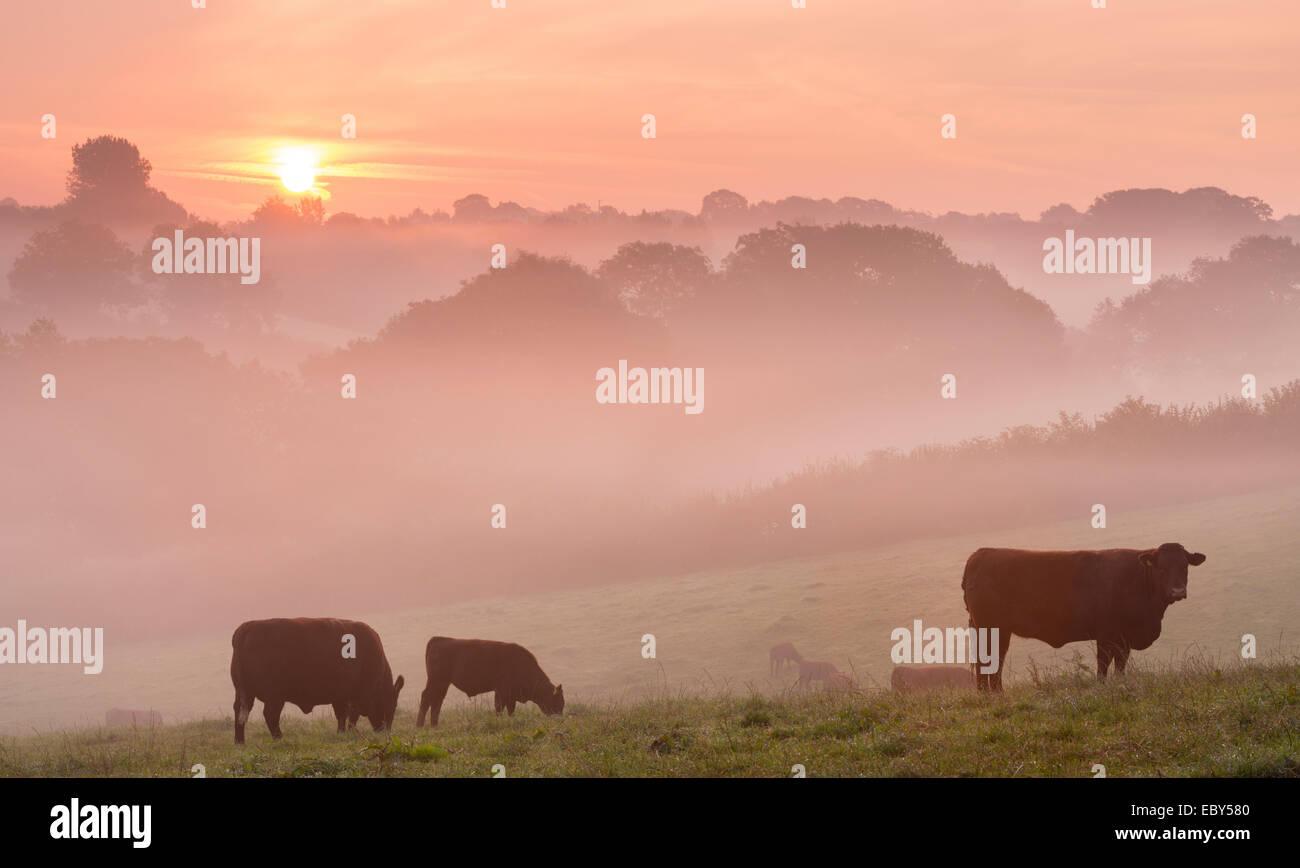 Rosso rubino il pascolo di bestiame nel Devon campagna all'alba in una nebbiosa mattina, cane nero, Devon, Inghilterra. Immagini Stock