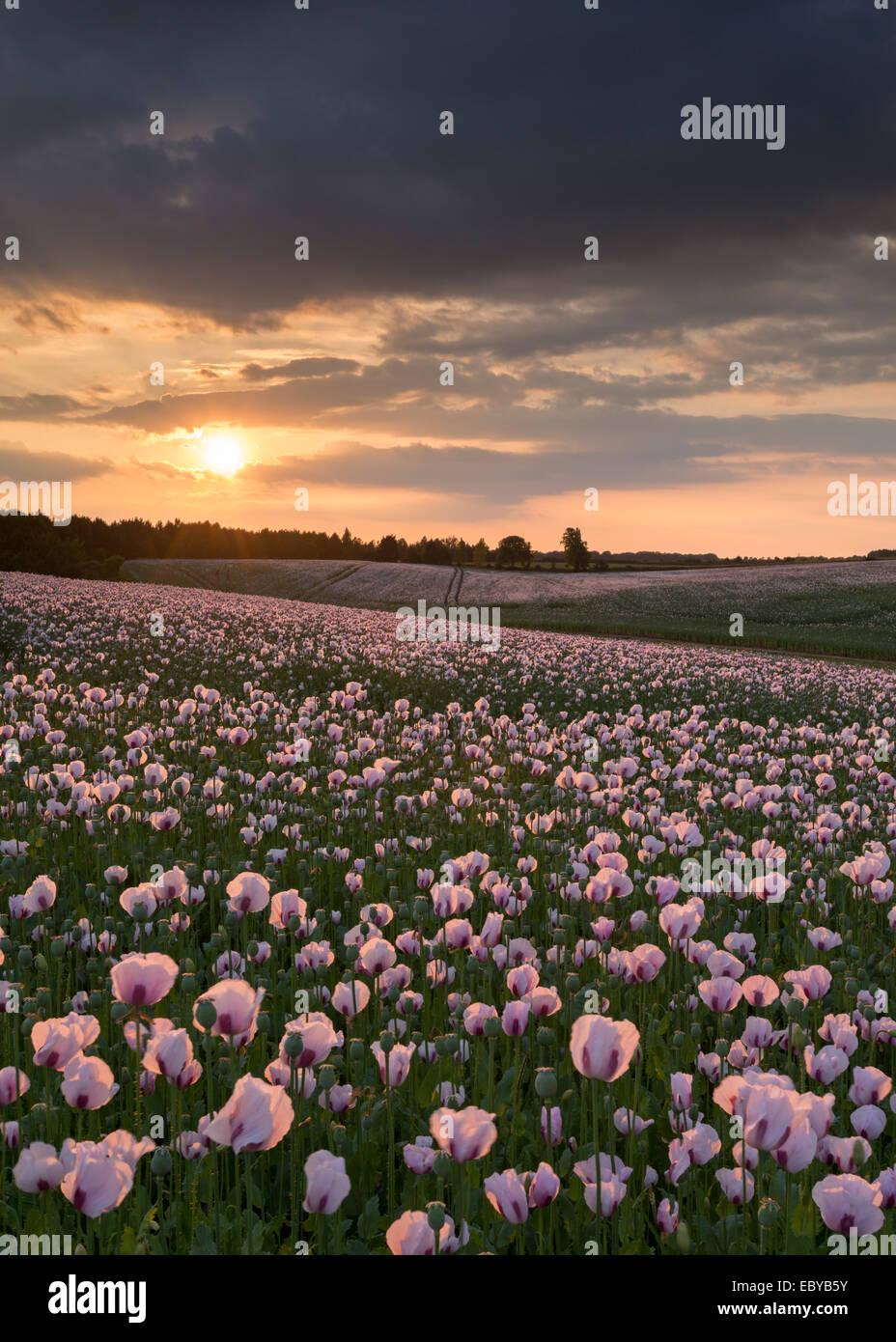 L'oppio poppyfield al tramonto, Chilton, Oxfordshire, Inghilterra. Per il periodo estivo (Giugno) 2014. Immagini Stock
