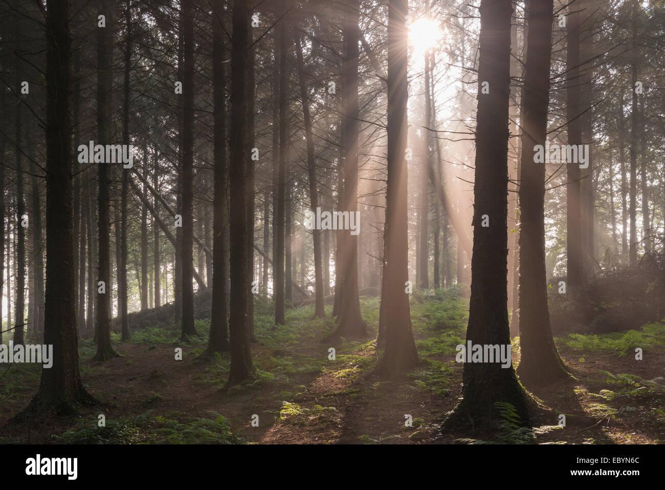 Sole che splende attraverso misty pineta di pino silvestre, Vescovo Morchard, Devon, Inghilterra. Settembre (Autunno) Immagini Stock