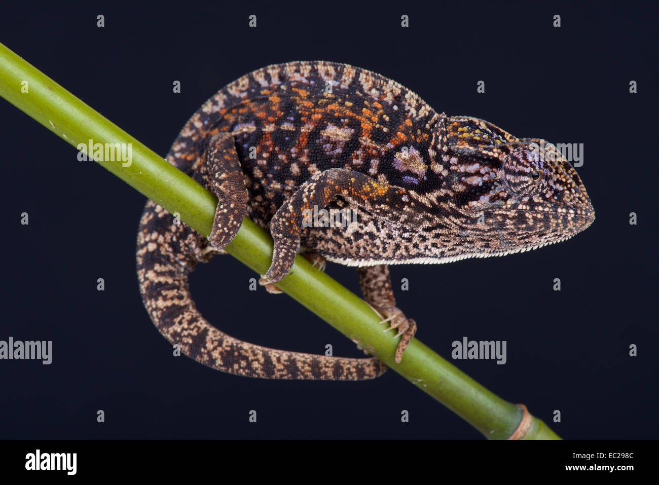Jeweled chameleon / Furcifer lateralis Immagini Stock