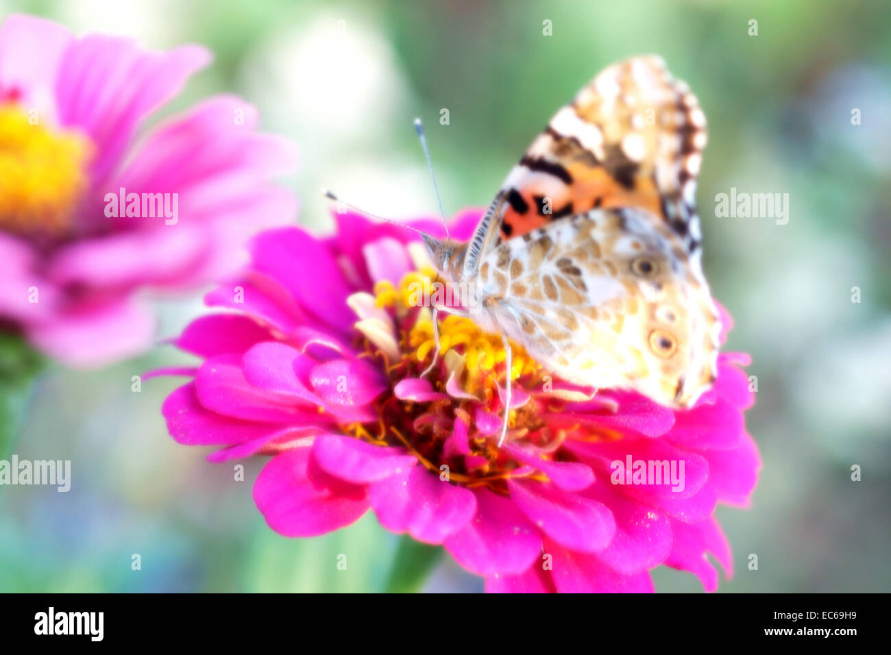 Fotografia di sogno di una farfalla su un fiore Immagini Stock