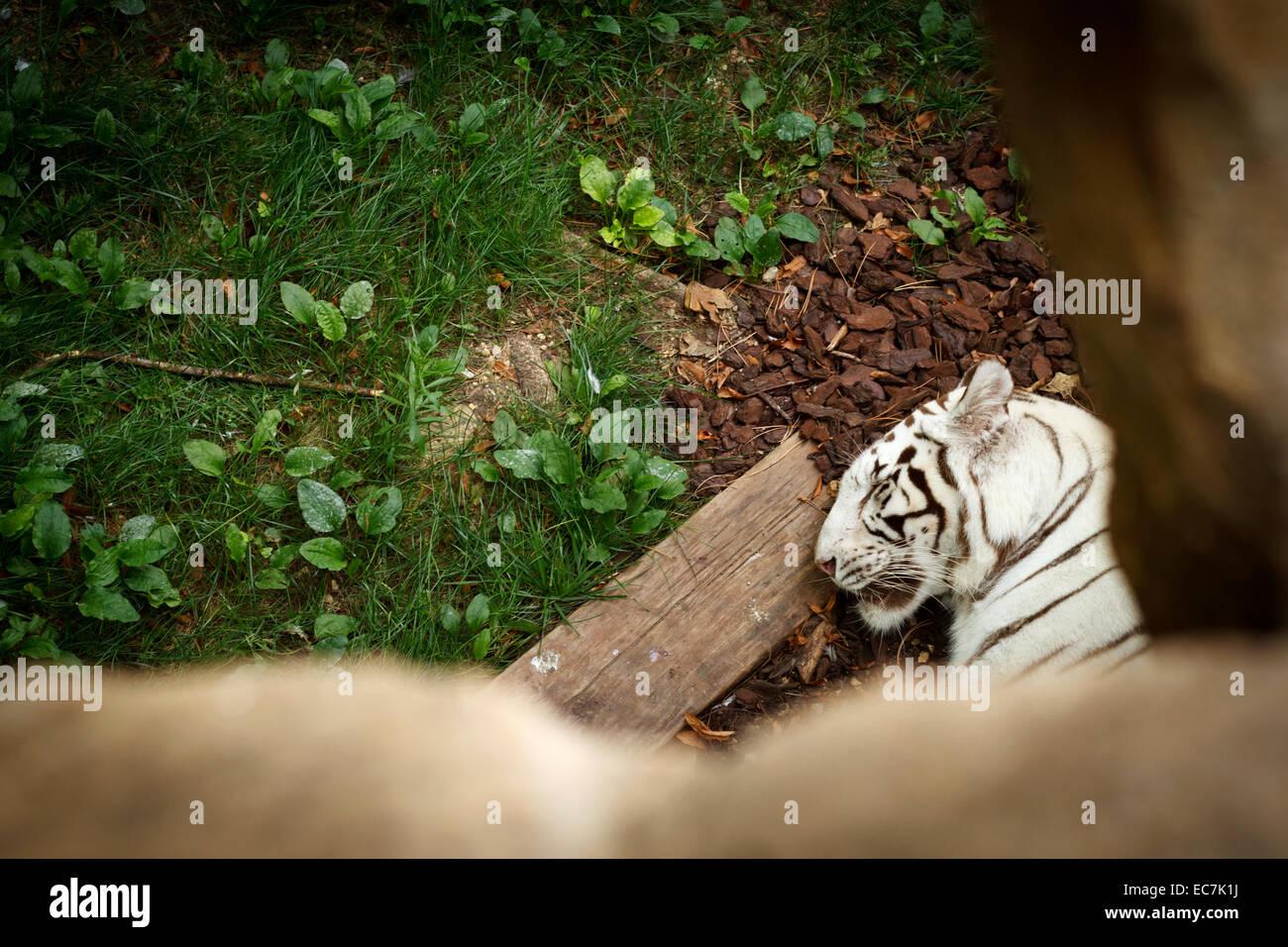Parco zoo di Beauval rara tigre bianca, Francia. Immagini Stock