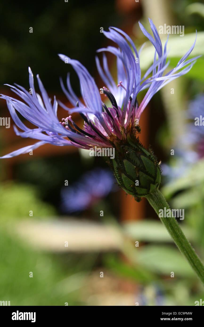 Centaurea cyanus, Fiordaliso, bachelor del pulsante Immagini Stock