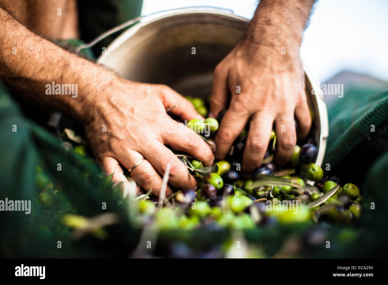 L'uomo spingendo le olive a benna Immagini Stock