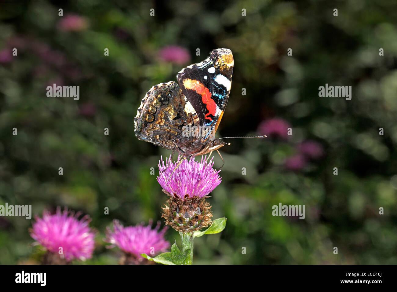 Red Admiral Butterfly (Vanessa Atalanta) alimentazione su Fiordaliso (Centaurea nigra) mostra underwing North Wales Immagini Stock