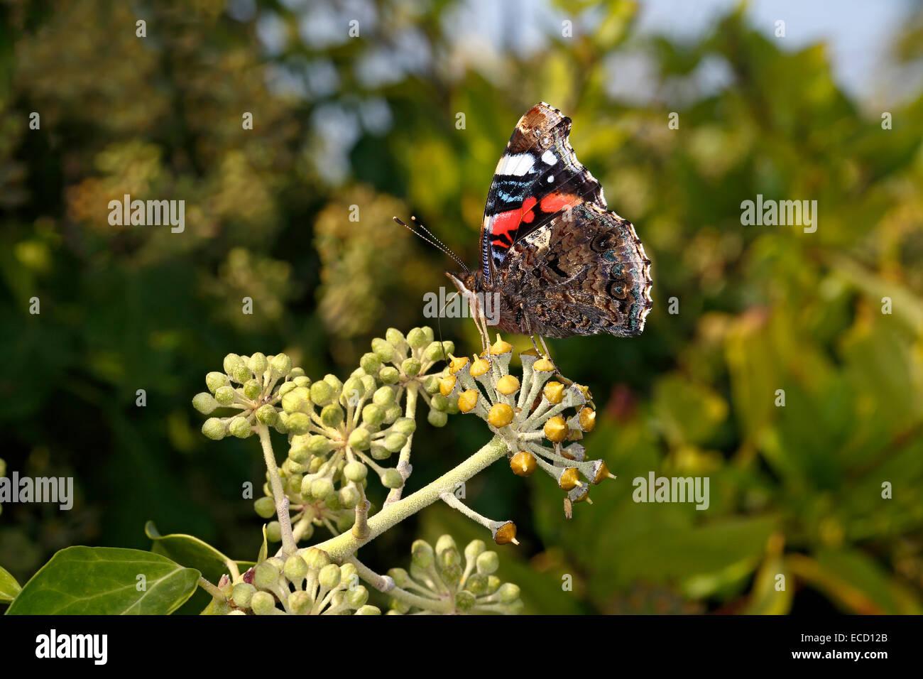Red Admiral Butterfly (Vanessa Atalanta) alimentazione su Ivy (Hedera helix) fiore cresce su parete in village REGNO Immagini Stock