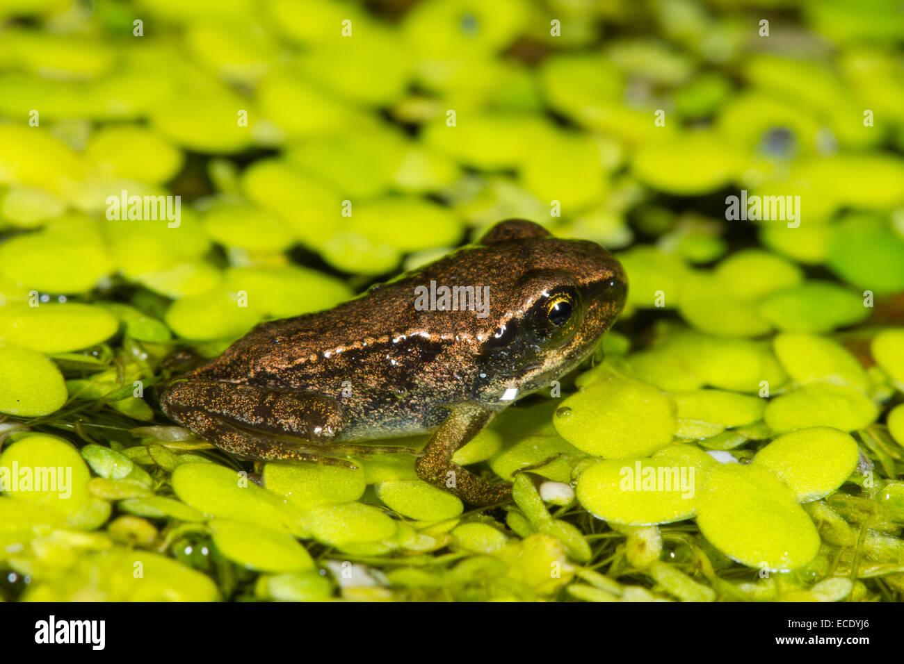 Rana comune (Rana temporaria) froglet, sulle lenti d'acqua (Lemna sp.) in un laghetto in giardino. Seaford, Immagini Stock